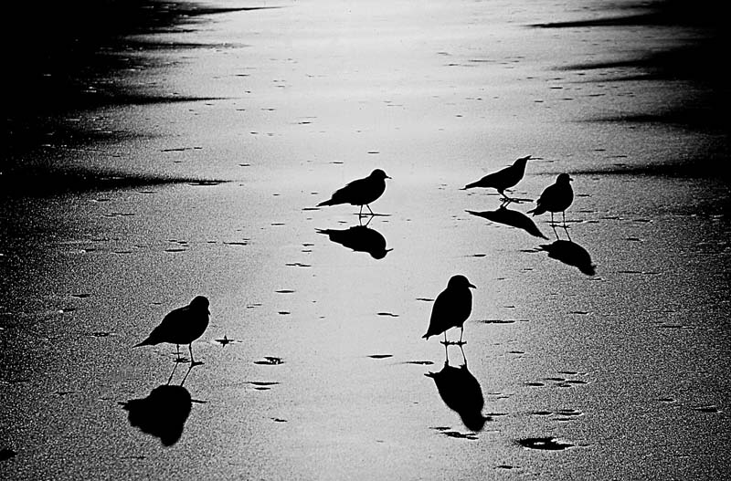 Black Blackbirds on Ice