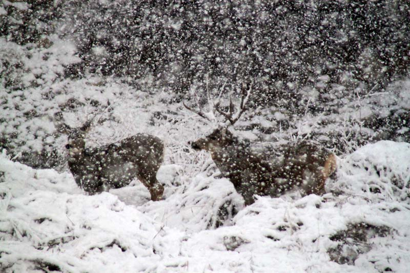 Deer in Blizzard