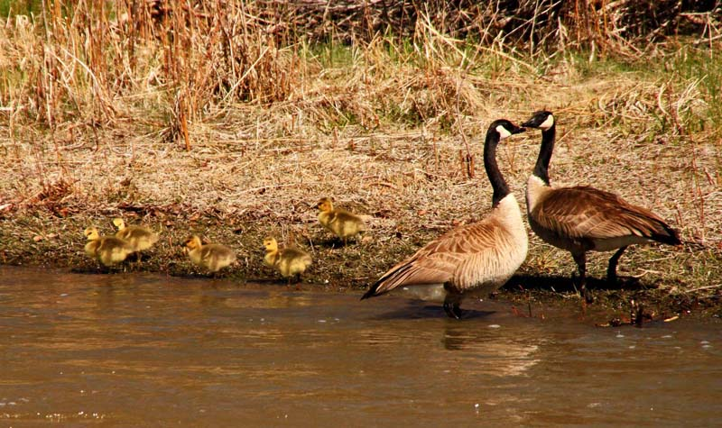 Geese Fam