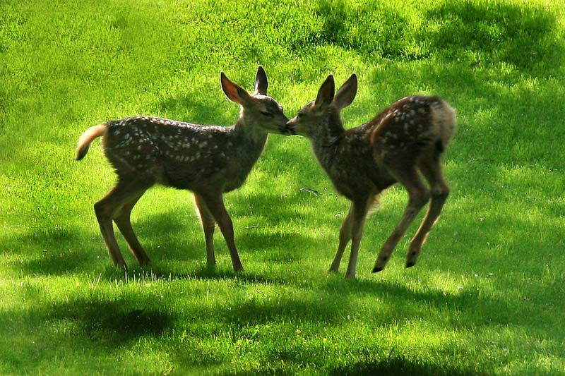Fawns Kissing in my backyard