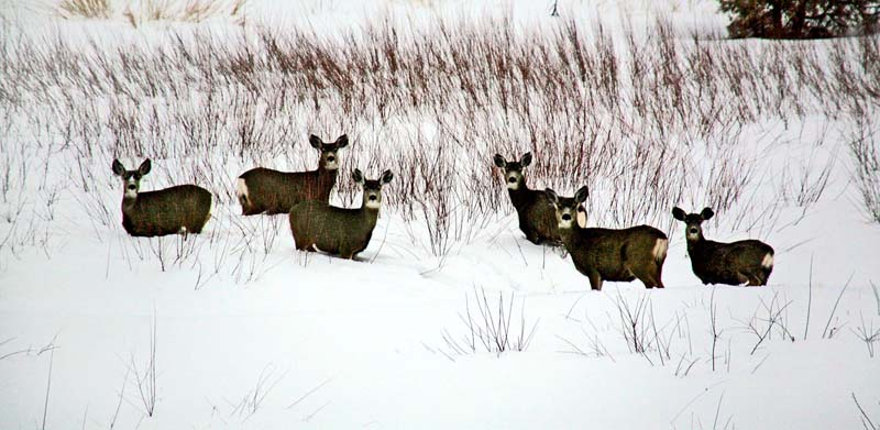 6 Deer in Snow