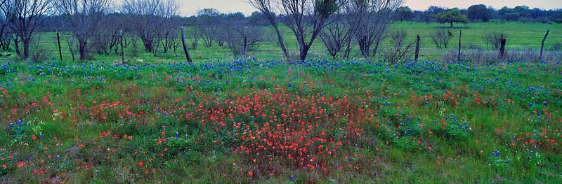 Paintbrush & Blue Bonnets, Texas