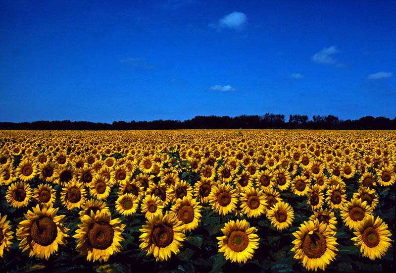Sea of Sunflowers uncropped