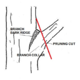Pruning-Branch collar.jpg
