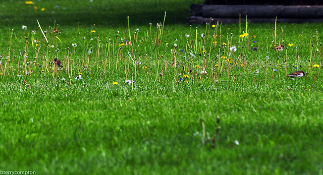 Lawn with dandelion flower stalks