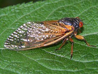 17-Year cicada,  Magicicada  sp. Photo: Bruce Marlin