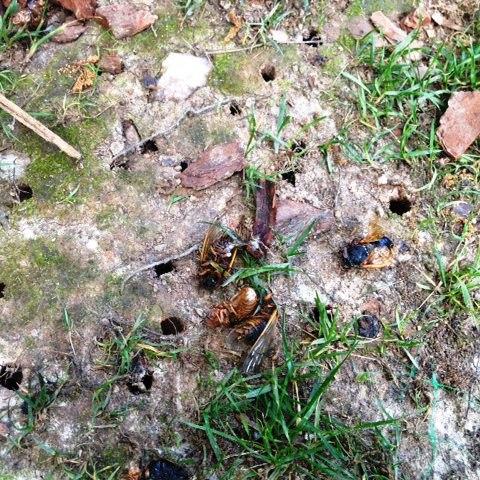 Cicada emergence holes