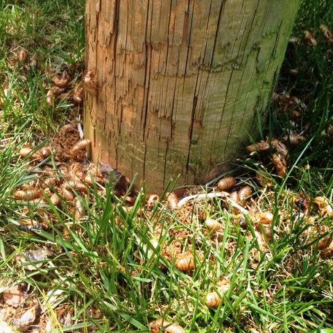 Shed cicada skins