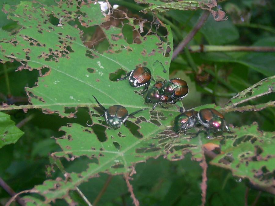 Japanese beetles skeletonizing a grape leaf