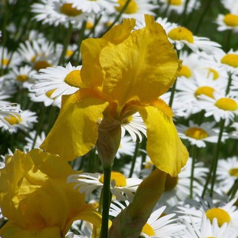 Iris And Daisies by David Wagner