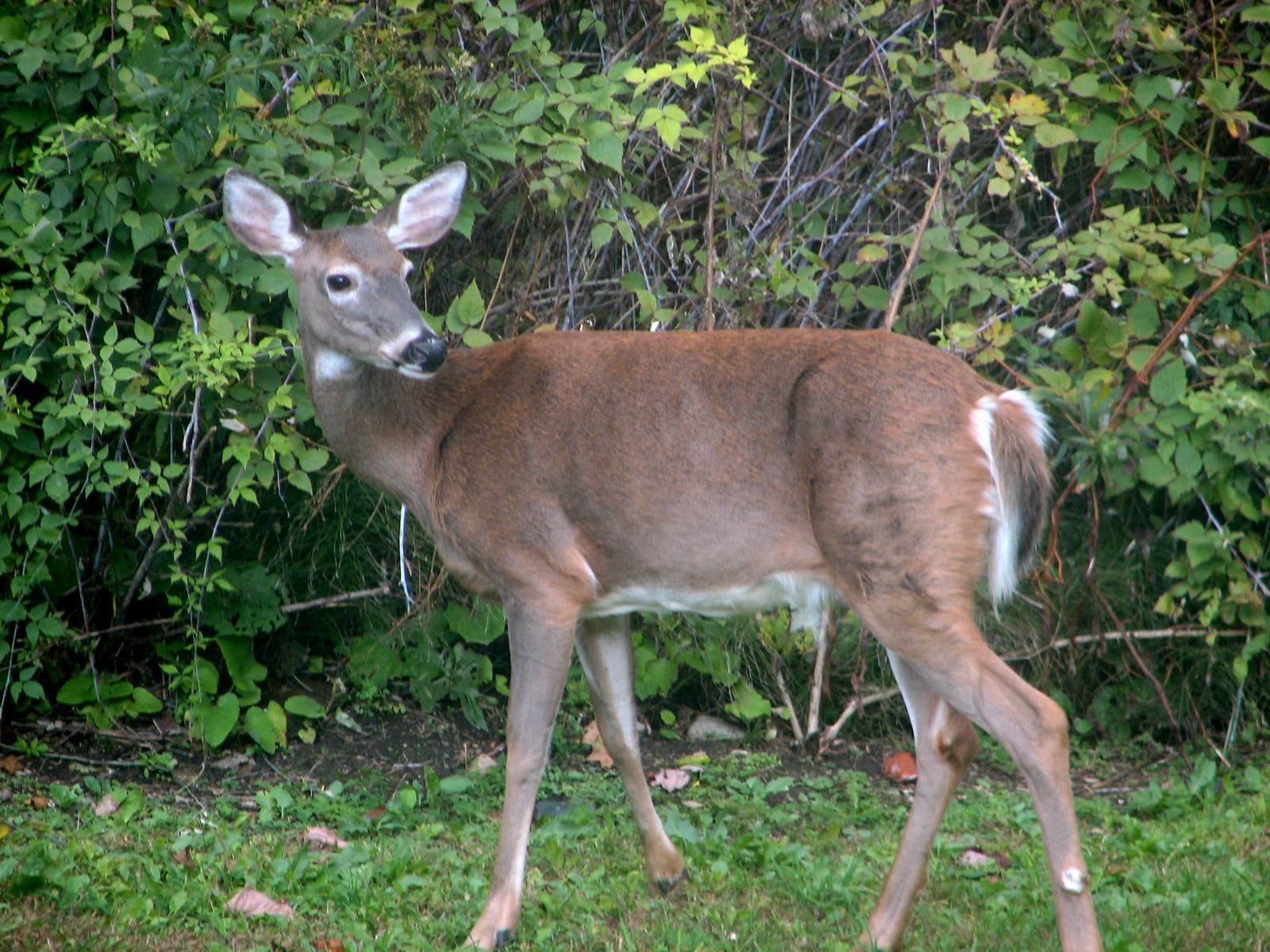 Deer_female_in_wild.jpg