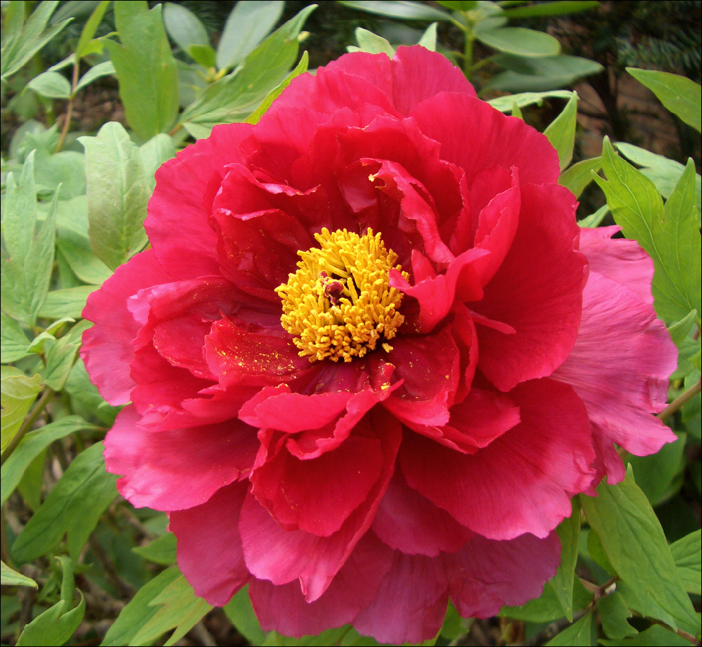 Planting And Growing Peonies