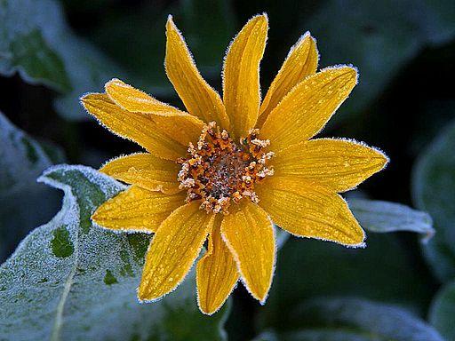 Sunflower_frost 512_PD.jpg