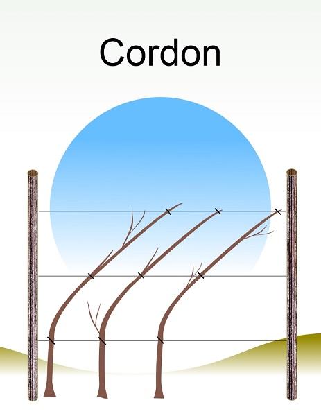 Cordon.jpg