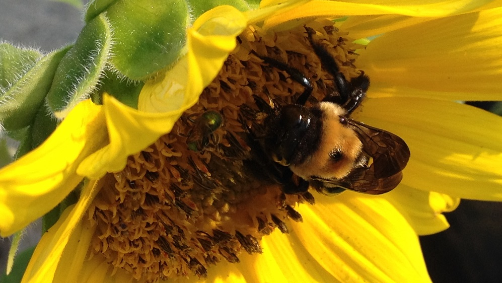 Carpenter bee and green sweat bee sharing a sunflower. Both are important pollinators.