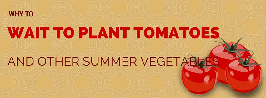 Wait to plant tomatoes