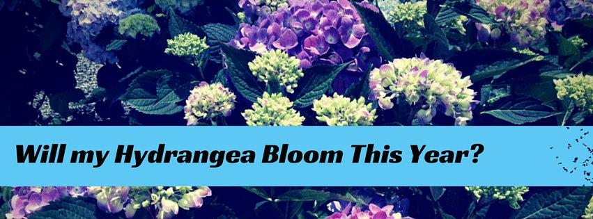 Will my Hydrangea Bloon this year?