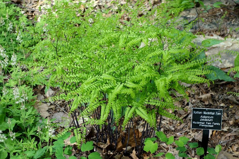 Adiantum pedatum , Northern maidenhair fern