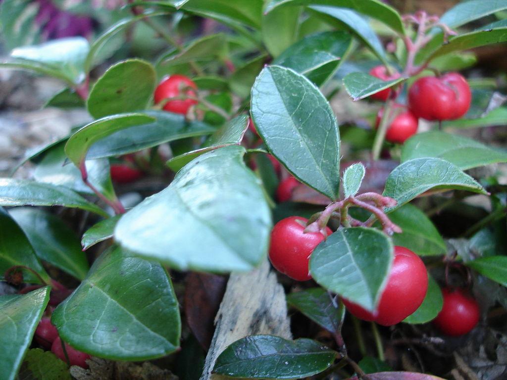 Edible berries of Gaultheria procumbens, Winterberry
