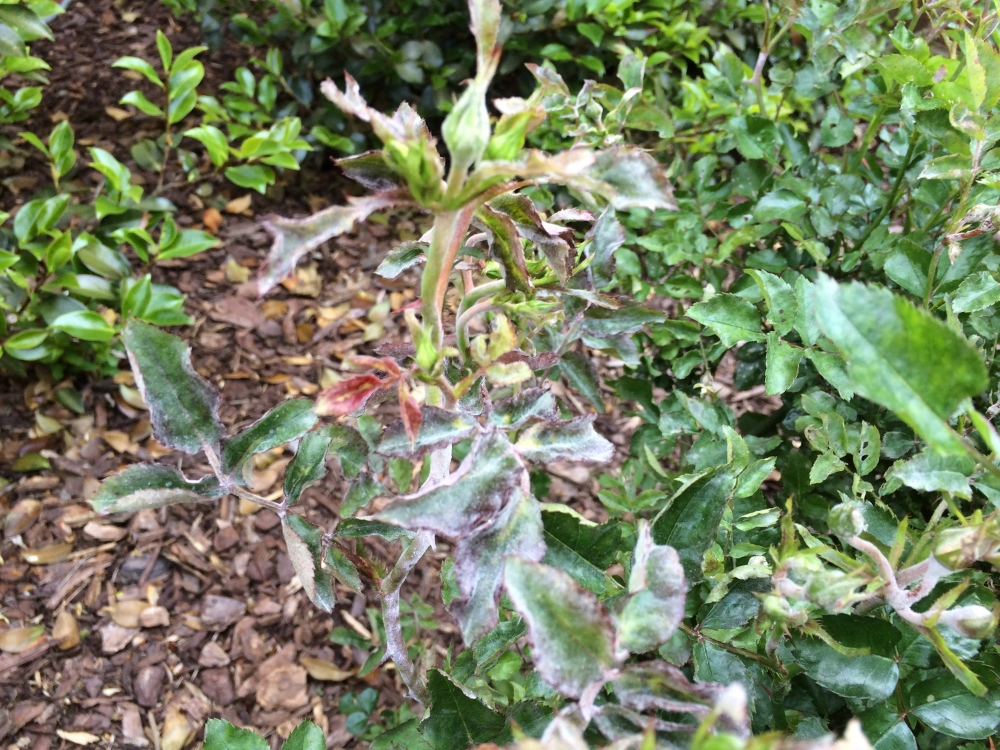 Powdery mildew on Knockout rose. Note the puckering & distortion of the leaves.