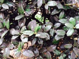 Sooty mold on shrub holly.