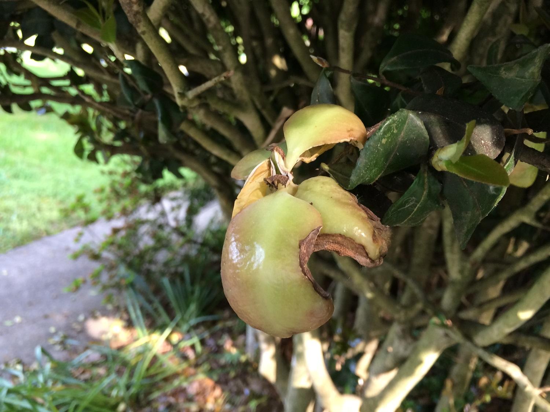 KC_5.13.15_camellia leaf gall (3).JPG
