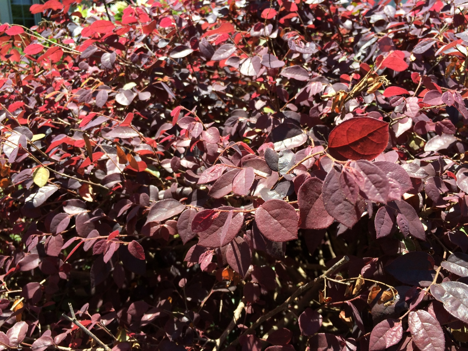Recovery of cold-damaged Loropetalum
