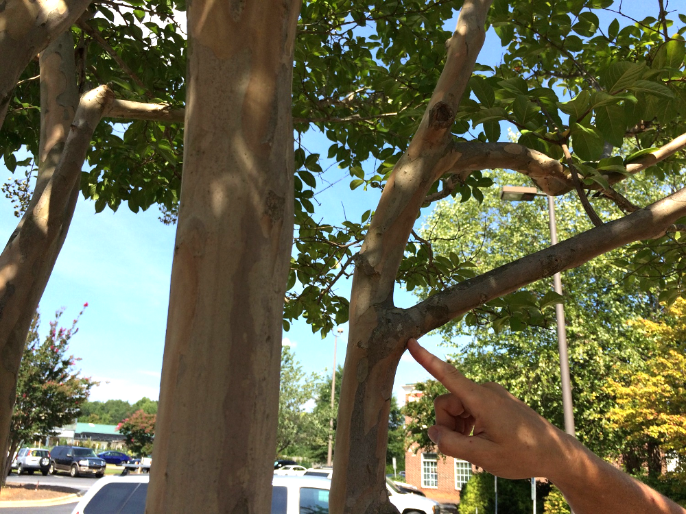 To remove broken or sagging branches, make the cuts here at the trunk (or next major branch)