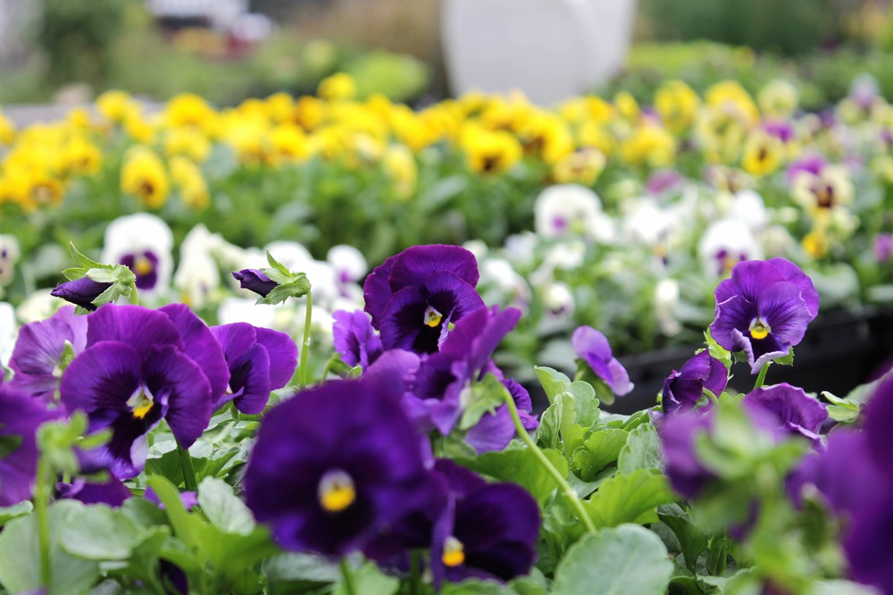Flats of pansies waiting to be planted in fall