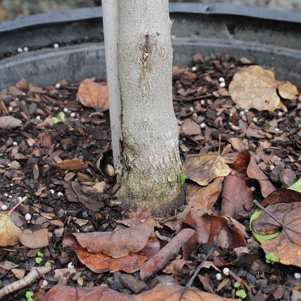 The root flare can be subtle on smaller trees. Look for a change in texture along with widening to indicate that the transition to root is at soil level.