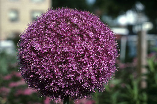 Spring Blooming And Deer Resistant Bulbs To Plant
