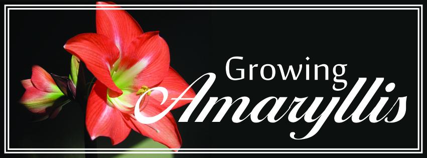 Growing Amarylllis