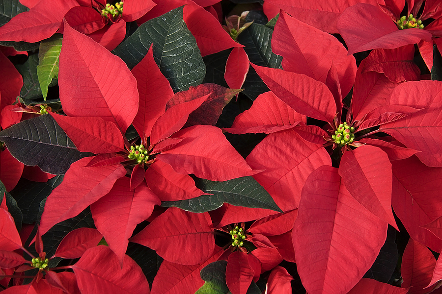 bigstock-Red-Poinsettias-1150889.jpg