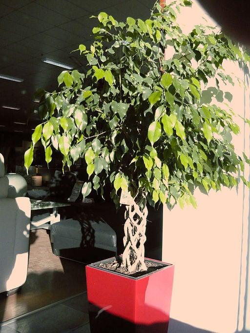 Ficus benjamina with braided stem