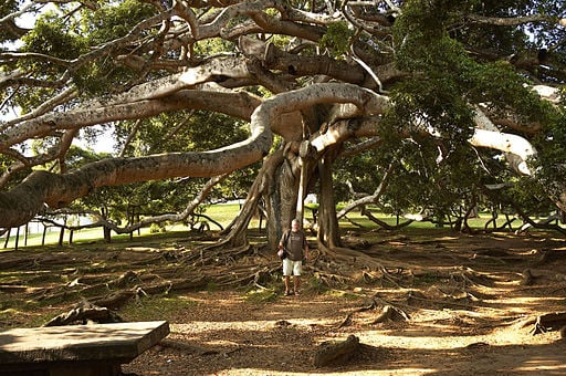 Ficus benjamina is a very large tree in the wild