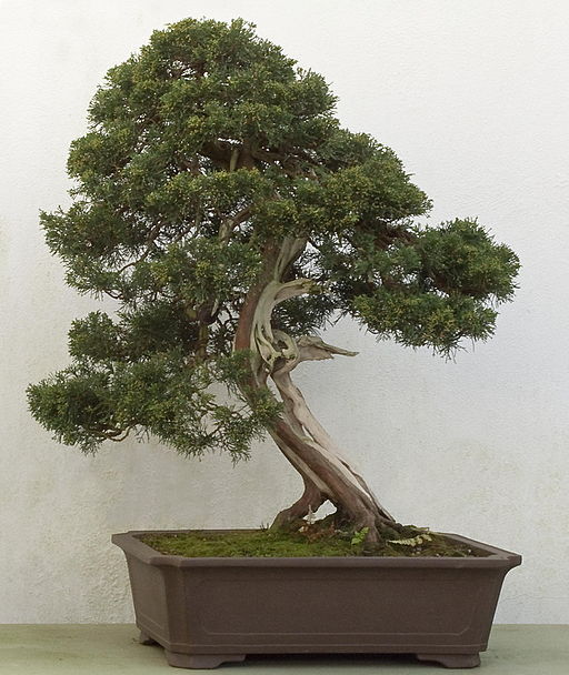 Chinese juniper bonsai, over 250 years old.