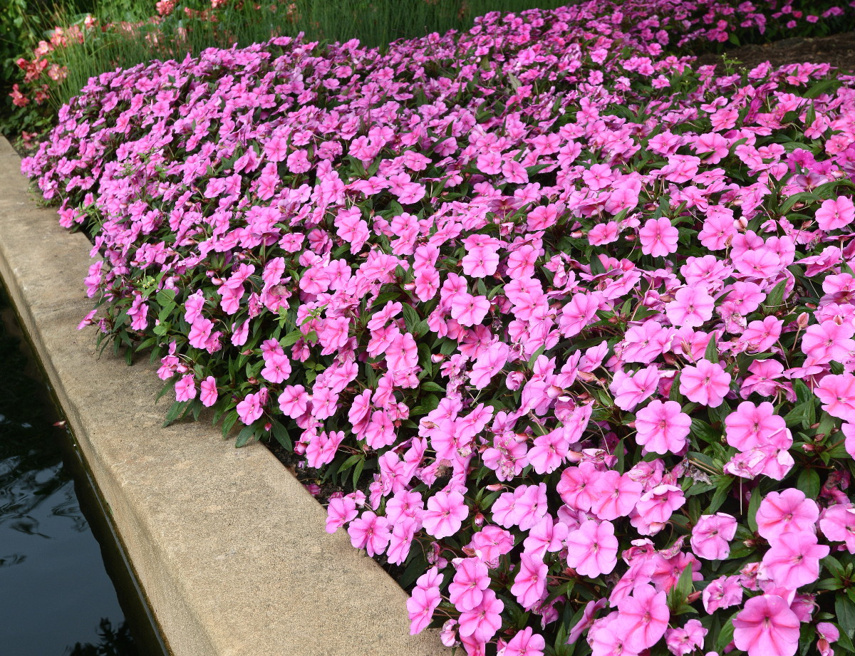 All American Selections Flower Award winner for 2015 Impatiens Bounce™ Pink Flame