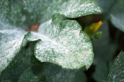Powdery mildew on pumpkin leaf. Photo: Jeff Kubina (Own work) [Public domain], via Wikimedia Commons