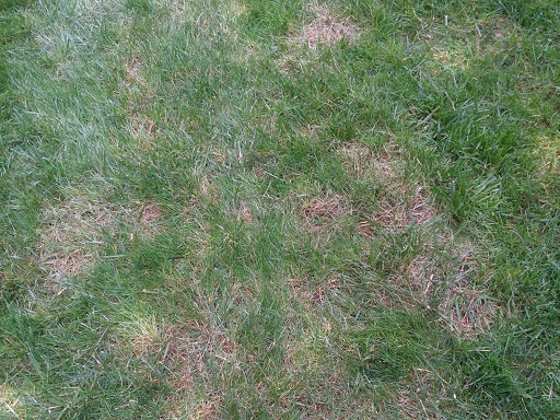 Poa trivialis  dying out in warm weather looks like a fungal disease.