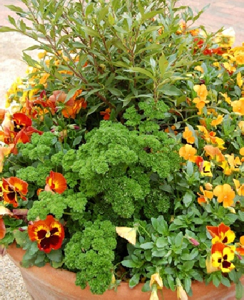 Parsley and pansies in a fall container