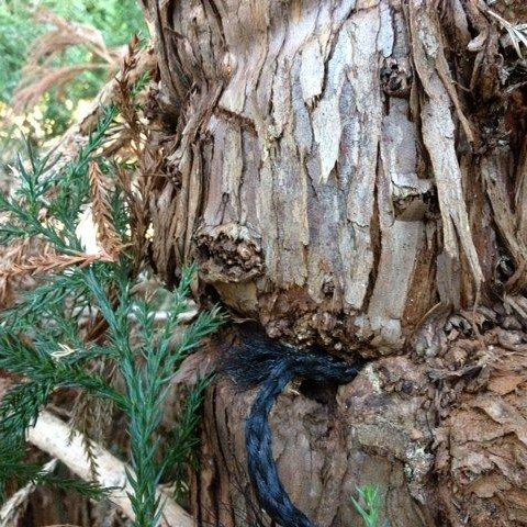 Support rope deeply embedded in trunk of Cryptomeria