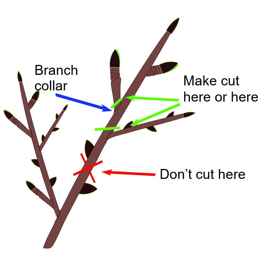 Branch collar illustration