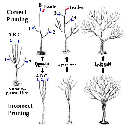 Pruning young fruit trees