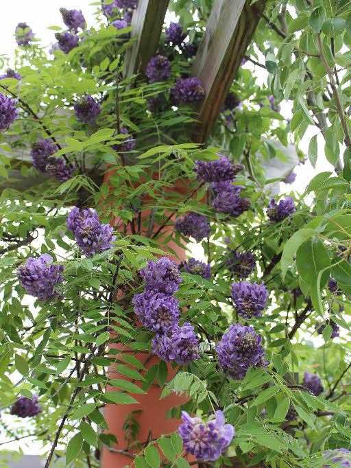 American wisteria 'Amethyst Falls'