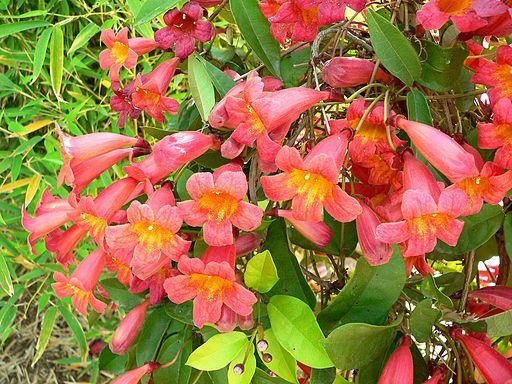 Cross vine 'Tangerine'