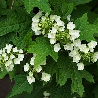 Oakleaf Hydrangea,  Hydrangea quercifolia