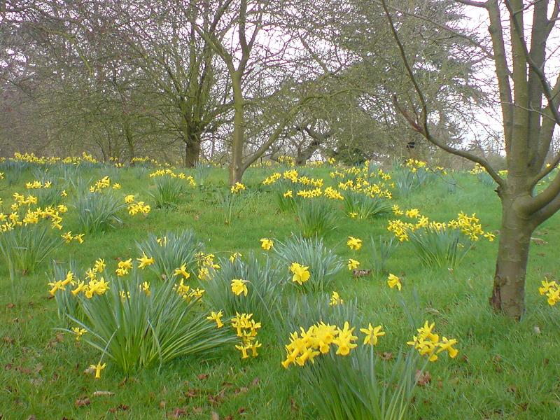 Naturalized Daffodils (Narcissus)