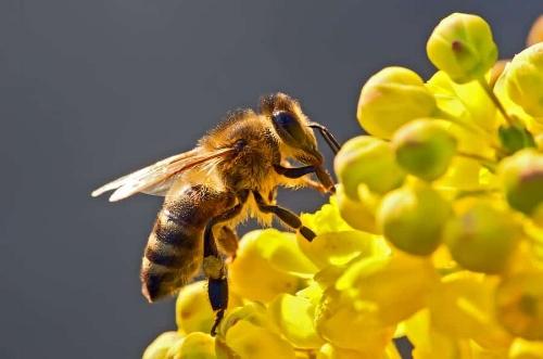 Ground nesting bees look very much like this honeybee.