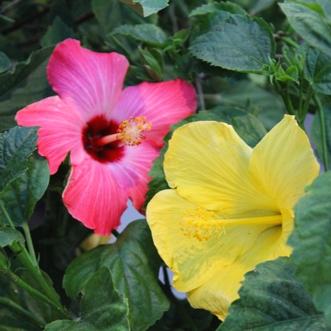 Hibiscus can be kept over the winter to enjoy year after year.