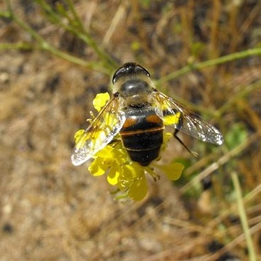 Adult syrphid fly on mustard flower